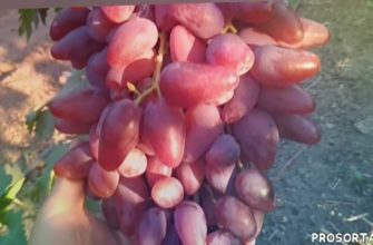 σταφύλια, grožđe, عنب, üzümlər, ブドウ, vindruvor, hrozny, raisins