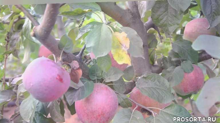 Яблока Либерти