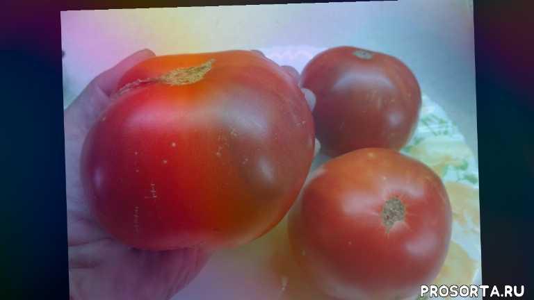 томаты для открытого грунта, томаты. самые крупные томаты, сад огород