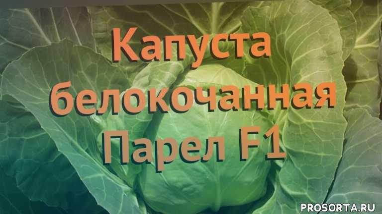 семена капусты парел f1, капуста белокочанная парел f1 как сажать, капуста белокочанная парел f1 обзор как сажать, капуста белокочанная парел f1 обзор, капуста парел f1 обзор как сажать, травы, белокочанная капуста парел f1 обзор как сажать, белокочанная капуста парел f1 обзор