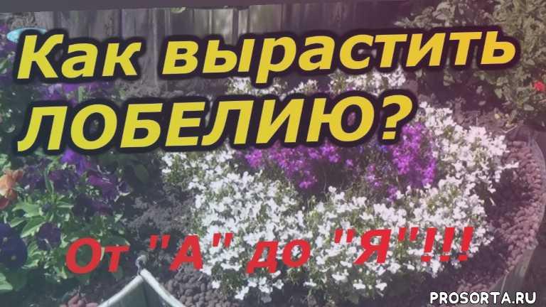 цветы, выращивание, прищипывание, посев лобелии, как вырастить лобелию, лобелия