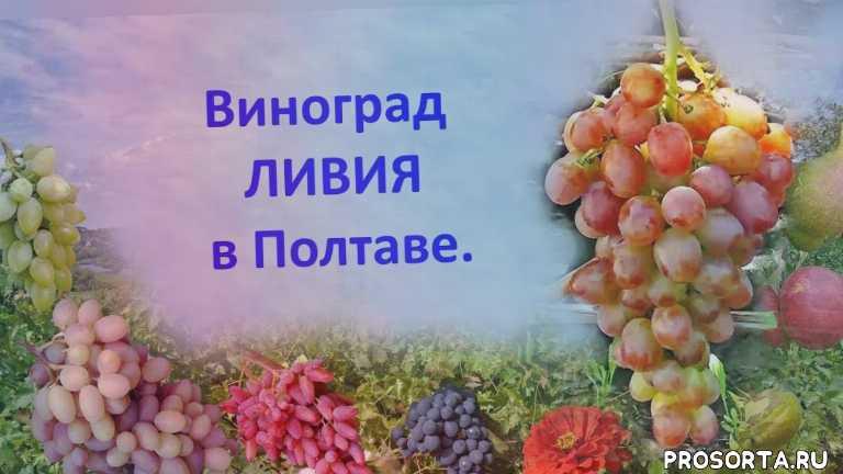 отзыв о винограде, мускатный виноград, вкусный виноград, хороший виноград, виноград загорулько, виноград ливия, виноград 2018