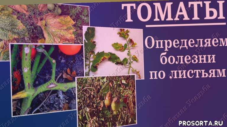желтые листья на помидорах, болезни листьев помидор, болезнь огурцов, болезнь помидор лечение, лечение помидор, болезнь помидор, болезни томатов и способы лечения, болезни томатов с фотографиями