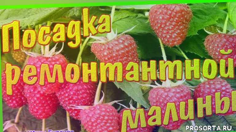как правельно посадить малину, малина, малина брянское диво, пересадка малины, как посадить малину, мастер-ломастер, иван бураков, ремонтантный