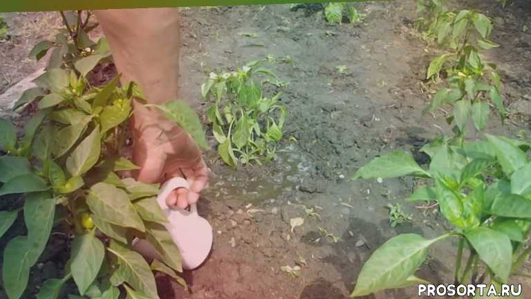 как посадить перец, выращивание перца, как посадить рассаду, vselennaya uvlesheniy, перец, увядание перца, болезни перца лечение, вселенная увлечений