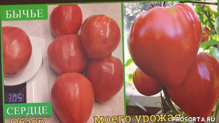 рассада, семена, огород, дача, умелая хозяйка, томаты, помидоры, лучшие сорта томатов