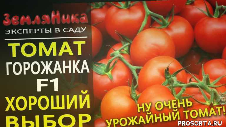 самые урожайные помидоры, урожайные помидоры, самые урожайные семена томатов, урожайные сорта томатов, лучшие сорта томатов, самые урожайные томаты, томат оля, устойчивые сорта томатов