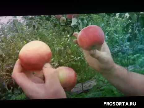 саженцы колонновидных яблонь в бресте, питомник саженцев в бресте, саженцы яблони в бресте, саженцы в бресте, как выглядит яблоко останкино, сорт яблок останкино, яблоко останкино, как выглядит яблоко пирос