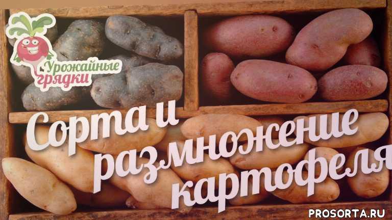 урожайные грядки, сорта картофеля, картофель сорта отзывы, характеристика сортов картофеля, сорт картофеля характеристика отзывы, ранние сорта картофеля, лучшие сорта картофеля, какие сорта картофеля