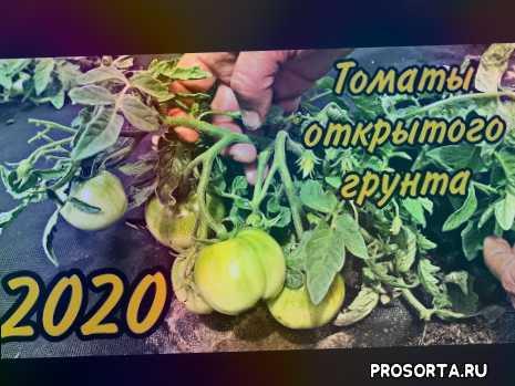 обзор томата монгольский карлик, чем подкормит томаты, как выращивать томаты в открытом грунте, томаты открытого грунта, томат монгольский карлик