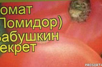 томат обыкновенный бабушкин секрет отзывы, где купить семена томат обыкновенный бабушкин секрет, купить семена томата бабушкин секрет, семена томат обыкновенный бабушкин секрет, видео томат обыкновенный бабушкин секрет, томат обыкновенный бабушкин секрет описание характеристик, краткий обзор томат обыкновенный бабушкин секрет, томат обыкновенный бабушкин секрет описание