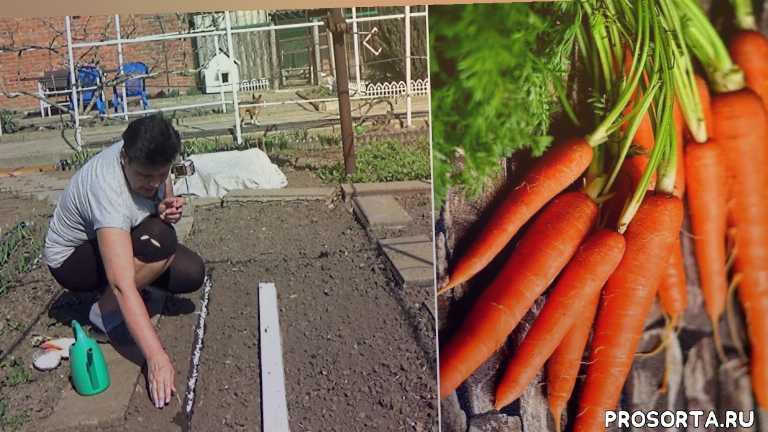 любимая усадьба, как вырастить, вырастить морковь, сад и огород, сажать морковь, посев моркови, посев моркови весной, морковь посадка и уход