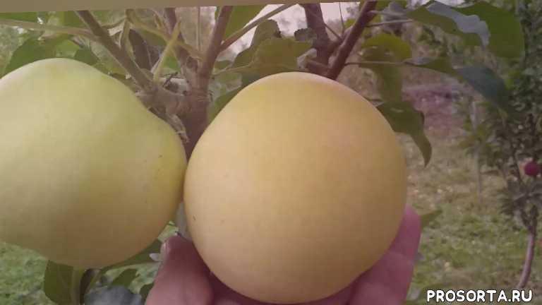 яблоня золотой ренет