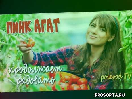 о помидорах пинк агат, пинк агат, розовый томат для открытого грунта, как выращивать томаты, как выращивать томаты в открытом грунте, как выращивать томаты в теплице, советы агронома о томатах., pink agate f1