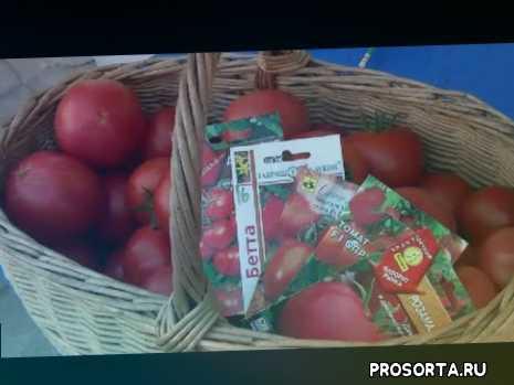 yt:crop=16:9, урожайые сорта, урожай, гибрид, выращивание помидоров, помидоры в теплице, высокорослые томаты, теплица