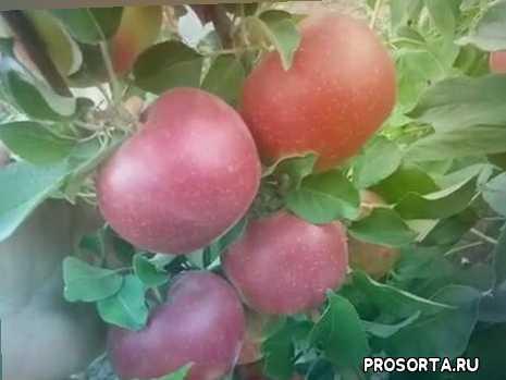 Яблоня зимняя сорт Рубиновое Дуки