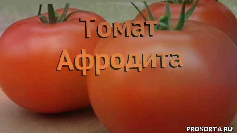 семена, семена томата, семена томата афродита, томат обыкновенный афродита как сажать, томат обыкновенный афродита обзор как сажать, томат обыкновенный афродита обзор, томат афродита обзор как сажать, травы