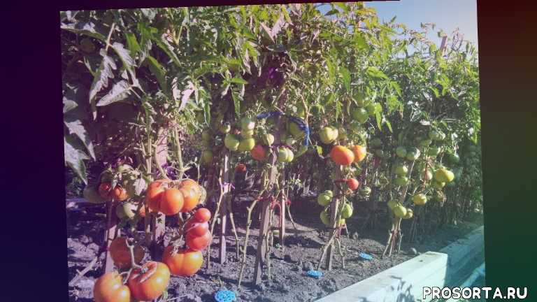 видообзор, томат бердский крупный, низкорослые крупные томаты, очень хорошие томаты, сибирские томаты, сад огород