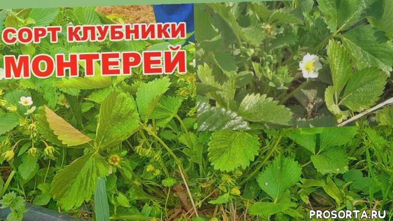 клубника монтерей, клубника у александра, выращивание клубники, сорт клубники