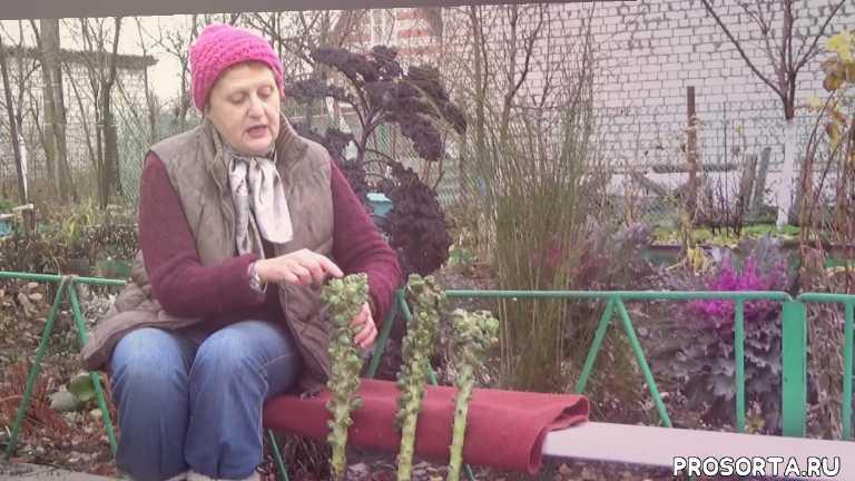 неудача, огород, дача, капуста, брюссельская