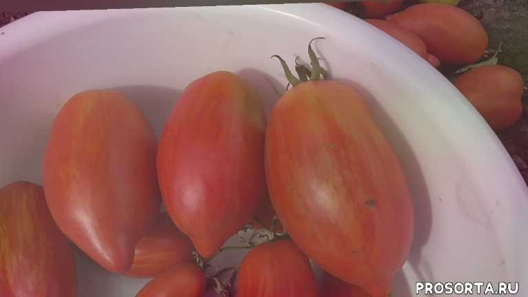 римский полосатый, обзор томата, томаты, огородная азбука, ольга чернова