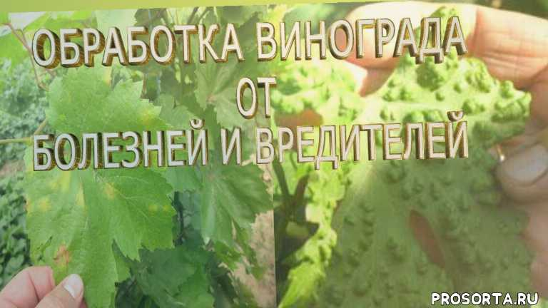 виноградарство, виноград, обработка винограда, лечение винограда, обработка винограда от болезней, чем обработать виноград от болезней, какие болезни винограда, обработка винограда от болезней и вредителей