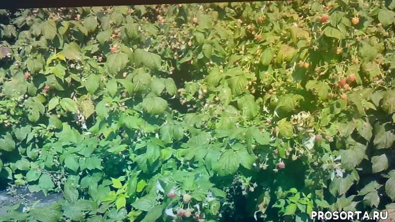 малина болезни и вредите, крупноплрдные сорта малины, как обрезать ремонтантную малину, как посадить малину, сколько можно заработать на малине, лучшие сорта малины, ремонтантная малина, малина полана