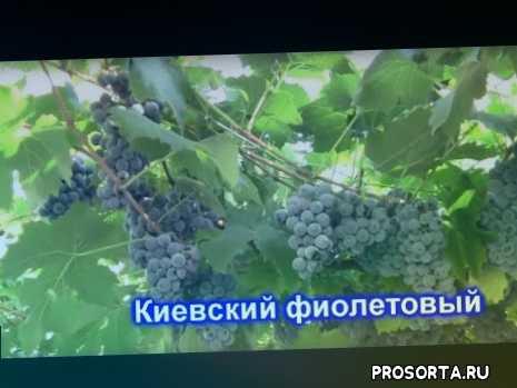 виноград на арку, арочные сорта, сорта для дачи, киевский фиолетовый, морозоустойчивые сорта, морозостойкие сорта, технические сорта, неукрывные сорта винограда