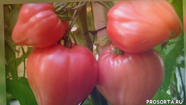 советы дачникам, советы огородникам, дача, огород, уход за томатами, рассада томатов, овощи, бычье сердце
