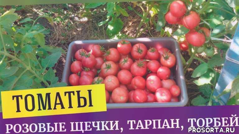 помидоры, томаты, розовые щечки, торбей, тарпан, ваша дача, татьяна башмакова, выращивание