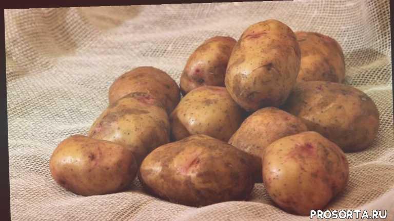 характеристика сортов картофеля, купить семя, купить картофель, картофель сорта фото, описание сортов картофеля, ранние сорта картофеля, лучшие сорта картофеля, устойчивые к фитофторе