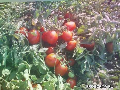 лучшие сорта низкорослых помидор для открытого грунта, лучшие сорта низкорослых томатов для открытого грунта, помидоры в открытом грунте, лучшие ранние помидоры, томат настенька, томаты для открытого грунта, томат демидов, лучшие сорта томатов для открытого грунта