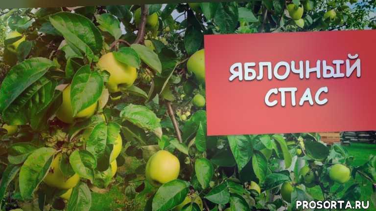 урожай, яблоки, яблони, раин сад, богатырь, белый налив, антоновка, яблочный спас