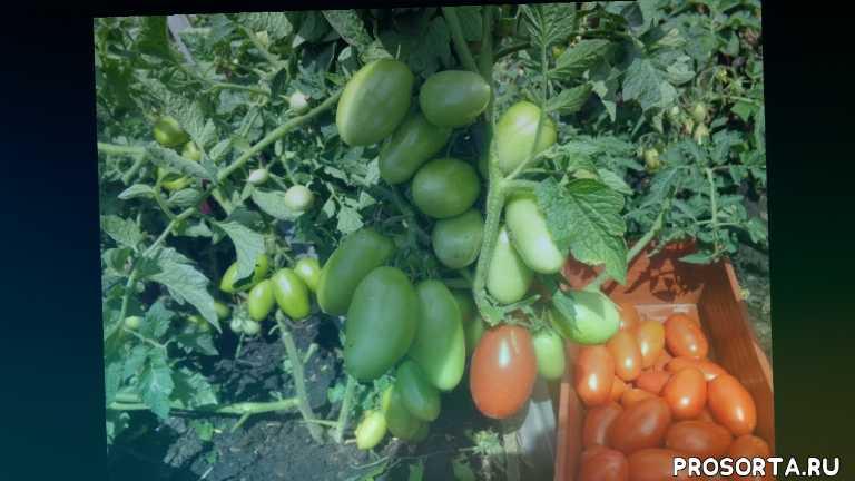 ольга чернова., для начинающих огородников, сорт челнок, очень урожайный томат, неприхотливый томат, сад огород
