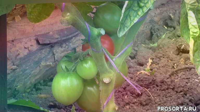 семена томатов, лпх арзамас, как выращивать помидоры, уход за томатами, выращивание помидор, как выбрать томат, какие помидоры лучше, сорта томатов