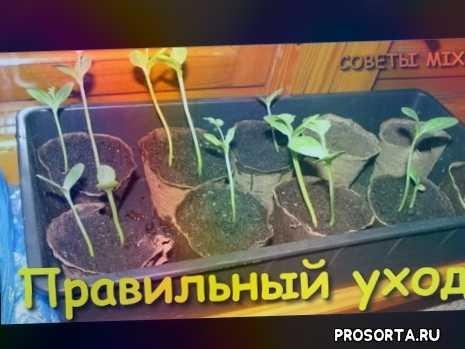 рассада помидор вытянулась, как ухаживать, что посеять, хитрости, ранний урожай, сажать, как сажать, во саду ли в огороде