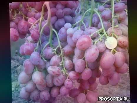 винограда анюта уход за виноградом анюта чем подкормить виноград полив винограда виноградаря, виноград анюта описание сорта