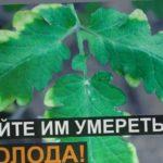 Вот почему ЖЕЛТЕЮТ И СОХНУТ КОНЧИКИ ЛИСТЬЕВ томатов и огурцов!