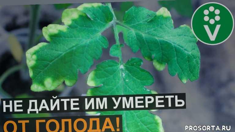 признаки нехватки калия, калий для растений, калий, дефицит калия, нехватка калия, сохнут листья что делать, сохнут листья у рассады, сохнут листья у помидор