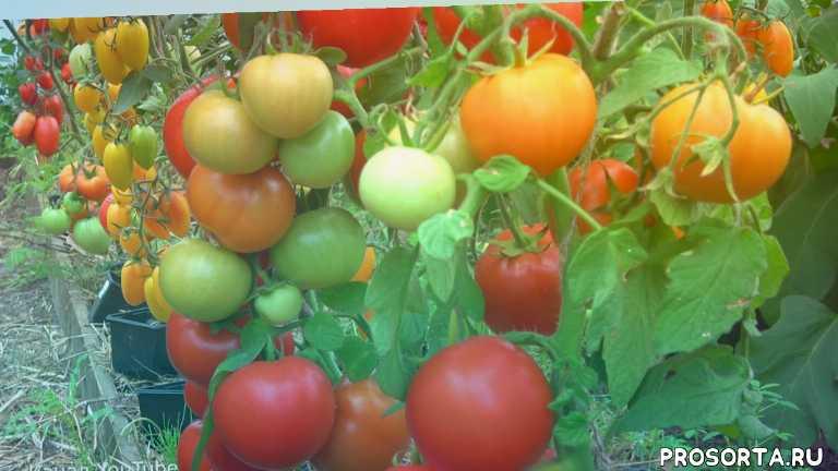 семена партнер, урожайный огород, 2018, обзор, какие томаты посадить, новинки томатов, как вырастить томаты, урожай