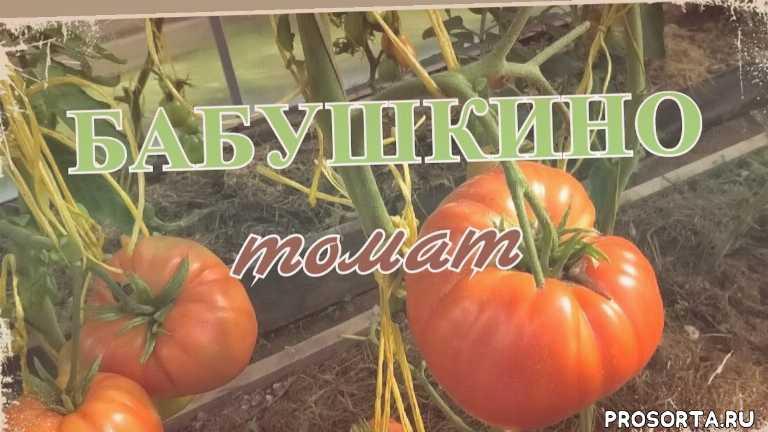 томаты фирмы партнер, томаты партнер, томат бабушкино урожайность, томат бабушкино характеристика, томата бабушкино отзывы, томат бабушкино описание, томат бабушкино фото, сорт томата бабушкино
