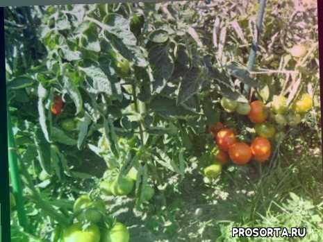 детерминантные, скороспелые, томаты в теплице, томаты для подмосковья, сорта томатов, сибирский скороспелый, помидор, томат