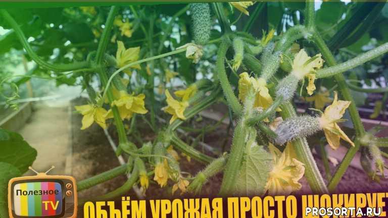 кибрия, сорт, сорт огурцов, уход за огурцами в теплице, удобрение, удобрения для огурцов, супер способ, борная кислота для растений