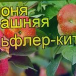 Яблоня домашняя Бельфлер-китайка. Краткий обзор, описание характеристик Belfler-kitaika