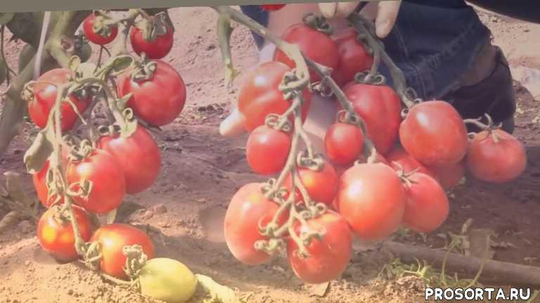 garden zoo, новые сорта томатов 2017, сад, какие новые сорта томатов, семена томатов, обзор сортов томатов, сад и огород, сорта помидор