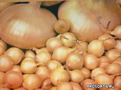 посадка севка, сажать лук, лук севка, л ук севка, лук выращивание, преимущества осенней посадки лука, садим лук осенью, садим лук севок