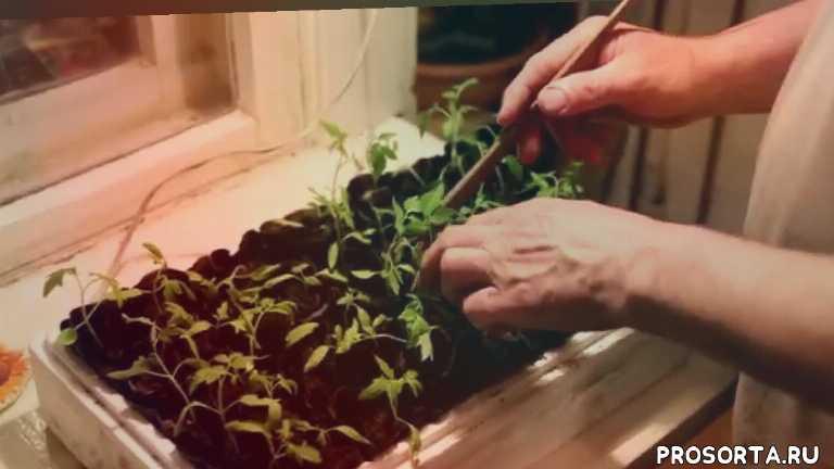 помидоры на урале, выращивание помидор, выращивание томатов в сибири, выращивание томатов, когда сажать рассаду помидор, рассада помидор, правильная рассада помидор, сибирь рассада томатов