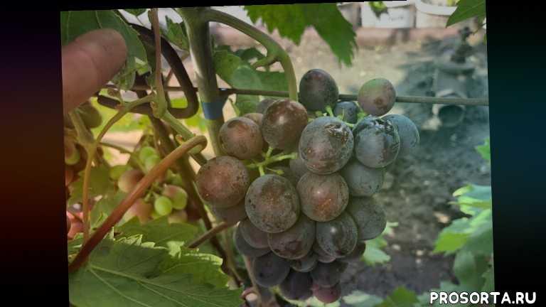 когда, как, виноград заболел, защитавинограда, виноград