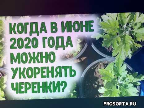 июнь 2020, размножение растений, укоренение черенков, черенки, в июне 2020, когда укоренять черенки, когда нарезать черенки комнатных цветов, когда нарезать черенки герани