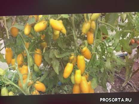 # урожайныетоматы# сорта# длятеплиц#купитьсеменатоматов